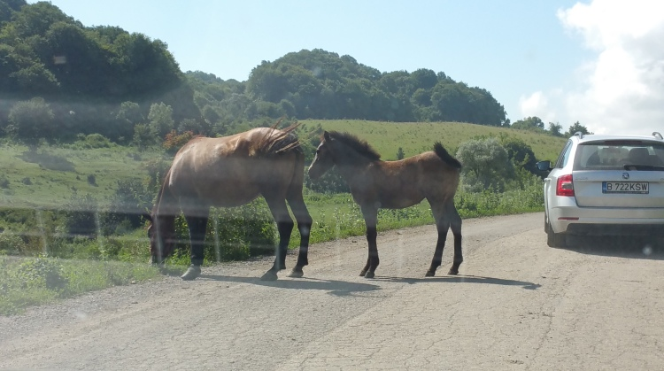 horse and foal on the road in Romania